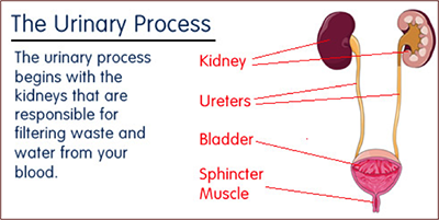 Diagram of the Urinary Process